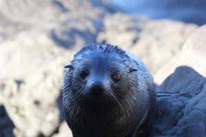 Seal pup land