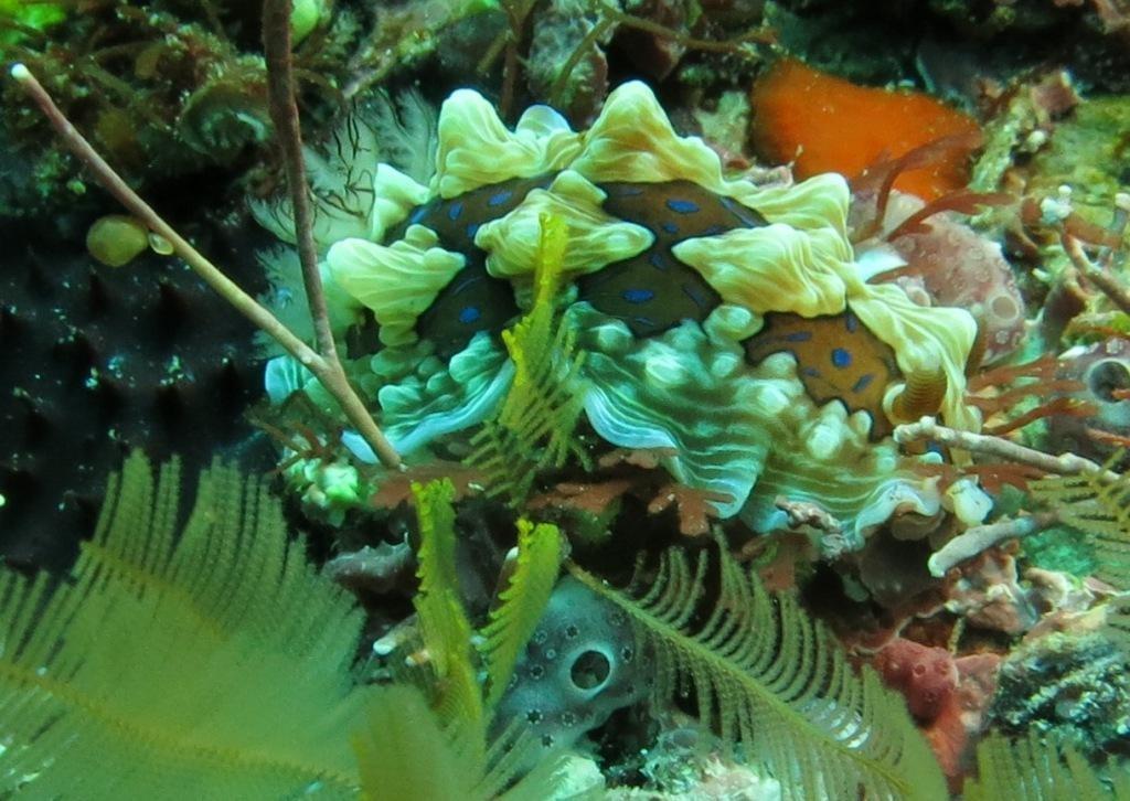 Gem Nudibranchs