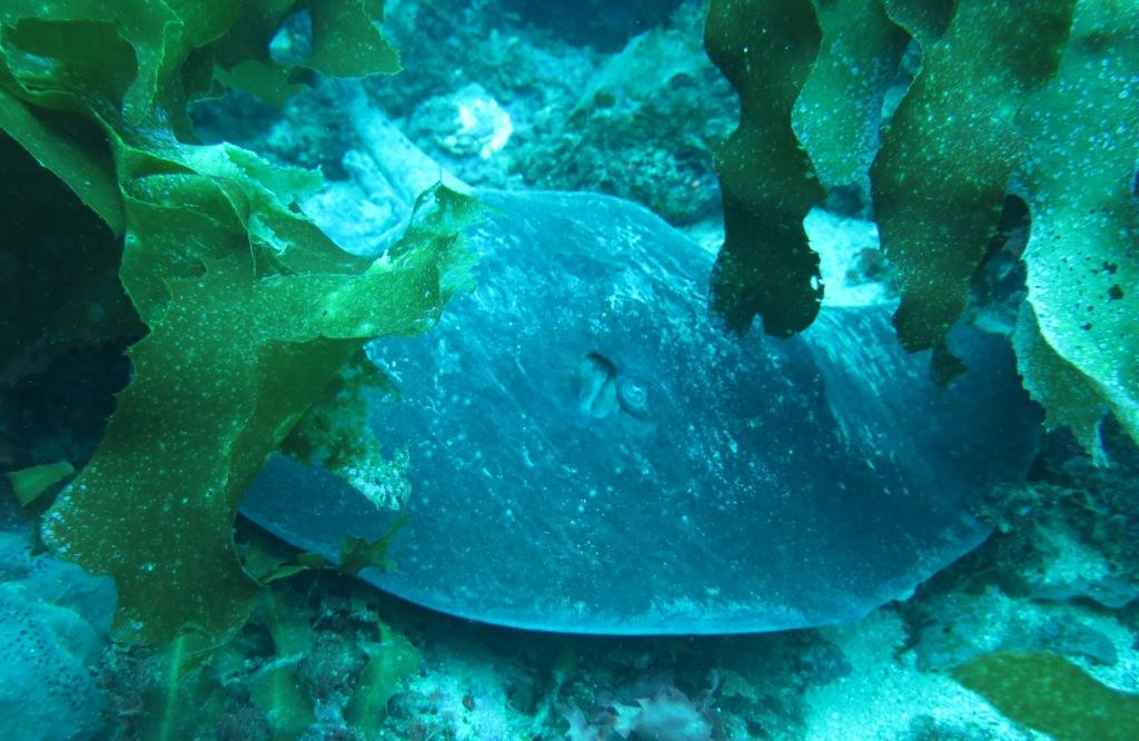 Poor knights april 2016 dive hq new zealand for Types of ray fish